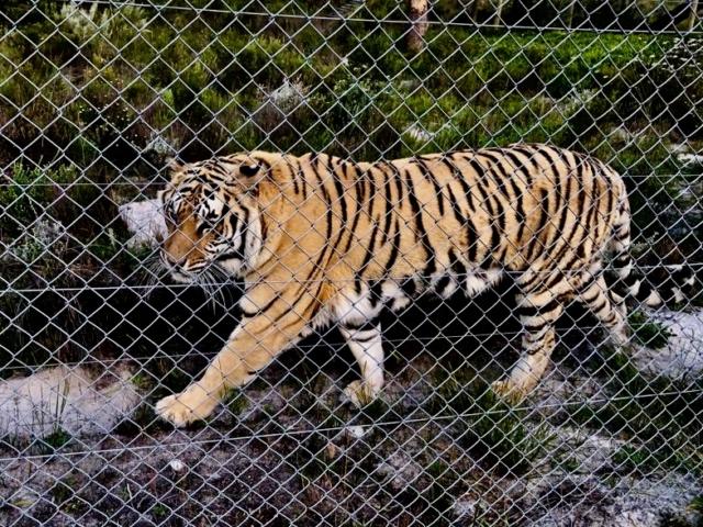 Bengali Tiger resue